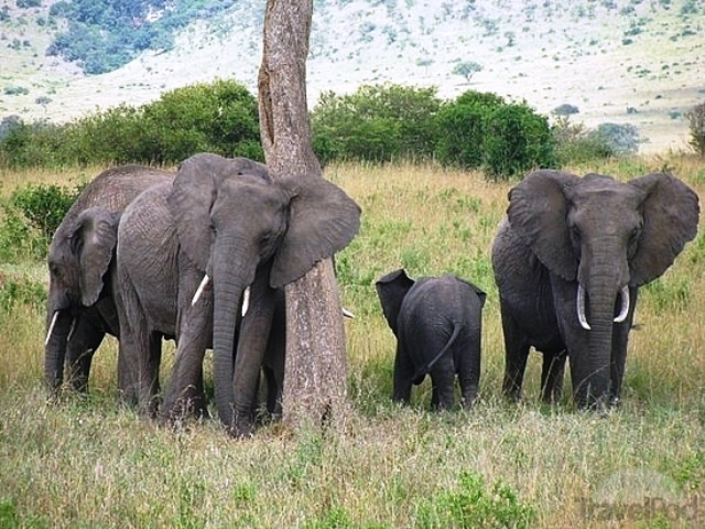 Great Mara Elephants
